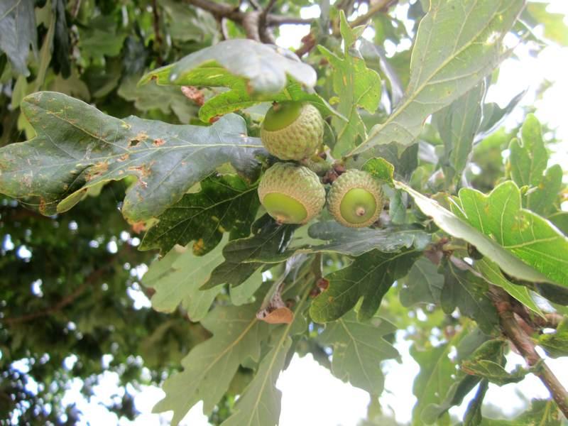 An English Oak with Acorns.