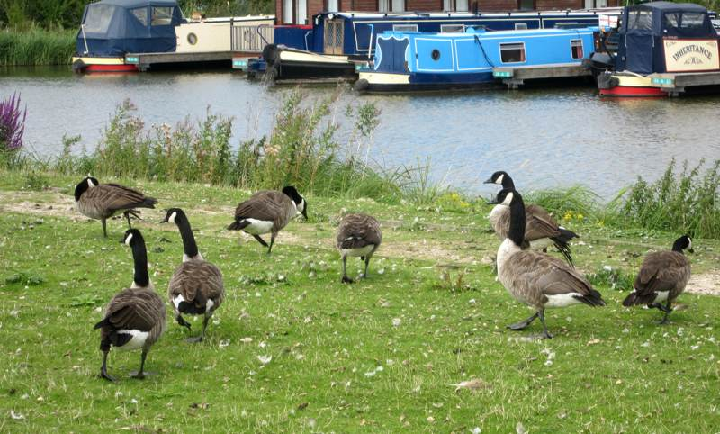 Canada Geese beside the Canal.