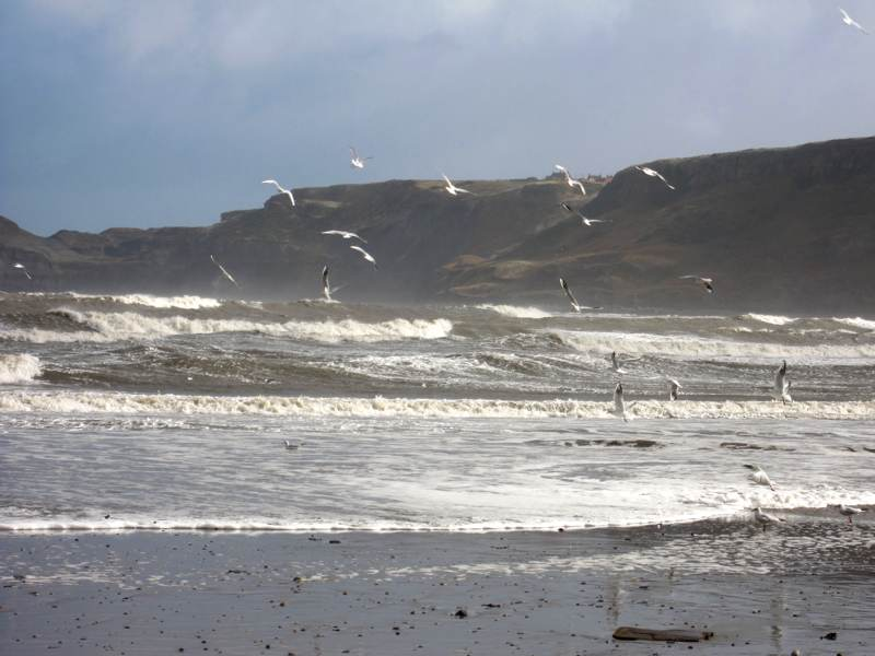 Gulls at Runswick Bay.